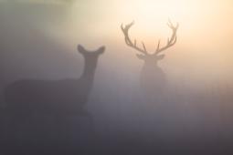 Jeleń szlachetny / Red deer / Ref : 162