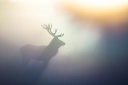 Jeleń szlachetny / Red deer / Ref : 164