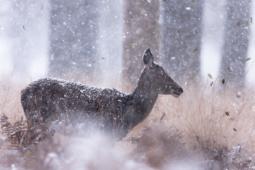 Jeleń szlachetny / Red deer / Ref : 31