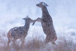 Jeleń szlachetny / Red deer / Ref : 166