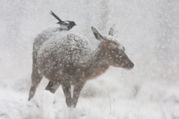 Jeleń szlachetny / Red deer / Ref : 195