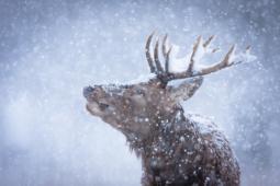 Jeleń szlachetny / Red deer / Ref : 267