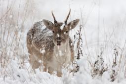 Daniel / Fallow deer / Ref : 186