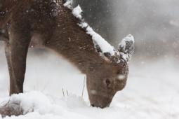 Jeleń szlachetny / Red deer / Ref : 130