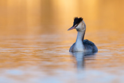 Perkoz dwuczuby / Great crested grebe