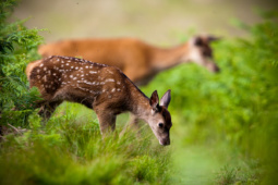 Jeleń szlachetny / Red deer / Ref : 160