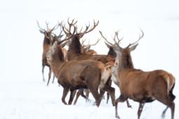 Jeleń szlachetny / Red deer / Ref : 168
