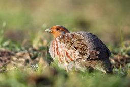 Kuropatwa / Grey partridge / Ref : 167
