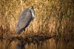 Czapla siwa / Grey heron / Ref : 189