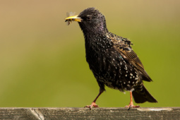 Szpak / Common starling / Ref : 169