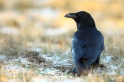 Kruk / Common raven / Ref : 32