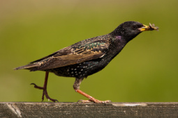 Szpak / Common starling / Ref : 255