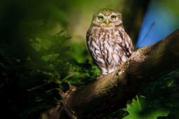 Pójdźka / Little owl
