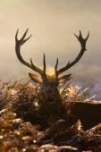 Jeleń szlachetny / Red deer / Ref : 155