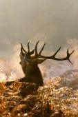 Jeleń szlachetny / Red deer / Ref : 238