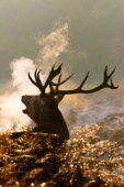 Jeleń szlachetny / Red deer / Ref : 147