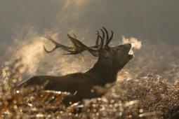 Jeleń szlachetny / Red deer / Ref : 234