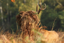 Jeleń szlachetny / Red deer / Ref : 199