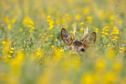 Sarna / Roe deer / Ref : 170