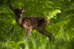 Jeleń szlachetny / Red deer / Ref : 188