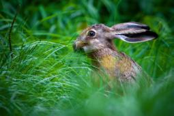 Zając szarak / European hare / Ref : 271