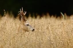 Sarna / Roe deer / Ref : 191