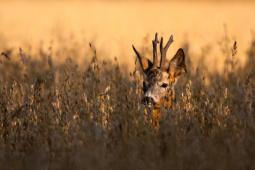 Sarna / Roe deer / Ref : 227