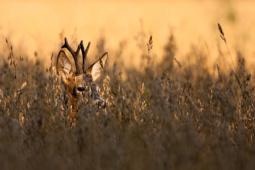 Sarna / Roe deer / Ref : 172