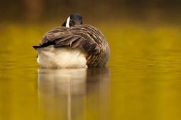 Bernikla kanadyjska / Canada goose / Ref : 246