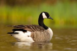Bernikla kanadyjska / Canada goose / Ref : 197