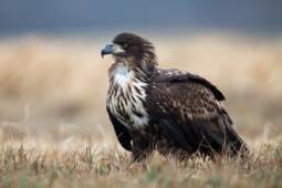 Bielik / White-tailed eagle / Ref : 202
