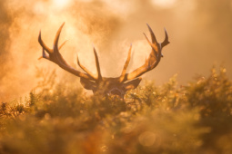 Jeleń szlachetny / Red deer / Ref : 157