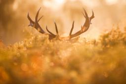 Jeleń szlachetny / Red deer / Ref : 212