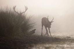 Jeleń szlachetny / Red deer / Ref : 16