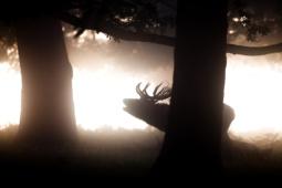 Jeleń szlachetny / Red deer / Ref : 117