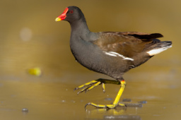kurka wodna / Common moorhen