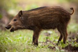 Dzik / Wild boar / Ref : 190