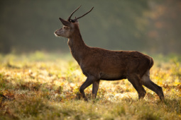 Jeleń szlachetny / Red deer / Ref : 225