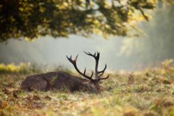 Jeleń szlachetny / Red deer / Ref : 173