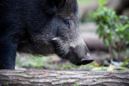 Dzik / Wild boar / Ref : 226