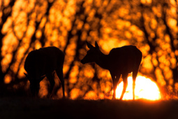 Jeleń szlachetny / Red deer / Ref : 201