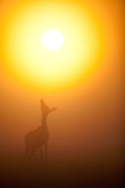 Jeleń szlachetny / Red deer / Ref : 256