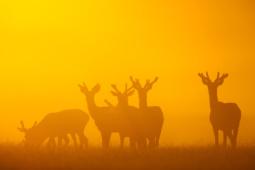 Jeleń szlachetny / Red deer / Ref : 181