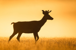 Jeleń szlachetny / Red deer / Ref : 110