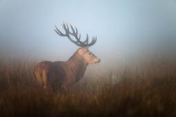 Jeleń szlachetny / Red deer / Ref : 254