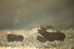 Jeleń szlachetny / Red deer / Ref : 149