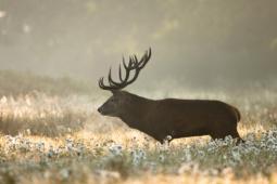 Jeleń szlachetny / Red deer / Ref : 177