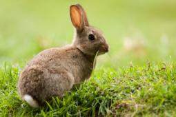 Królik europejski / European rabbit / Ref : 211
