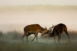 Jeleń szlachetny / Red deer / Ref : 205