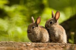Królik europejski / European rabbit / Ref : 235
